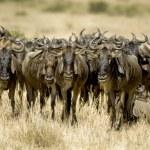 Wildebeest Masai mara Kenya — Stock Photo #10869697