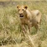 Lion — Stock Photo #10869818