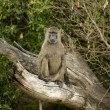 Stock Photo: Baboon Masai marKenya
