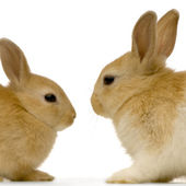 Rabbits dating — Stock Photo