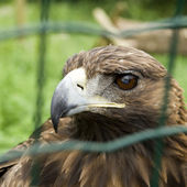 Captive Eagle — Stock Photo
