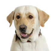 Portrait of a Labrador retriever cream in front of white background and facing the camera — Stock Photo