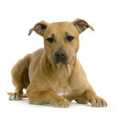 American Staffordshire terrier hazel lying in front of white background — Stock Photo