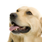 Golden Retriever (2 years) in front of a white background — Stock Photo