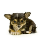 Long haired chihuahua — Stock Photo