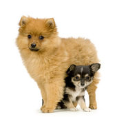 A long haired chihuahua and a spitz — Stock Photo