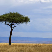 Savannah Masai mara — Stock Photo