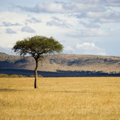 Masai mara — Stock Photo
