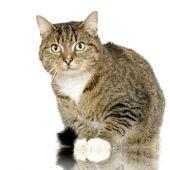Chat Forestier - European Wildcat — Stock Photo