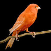 Red canary on its perch — Stockfoto
