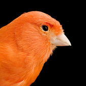 Red canary on its perch — Stock Photo