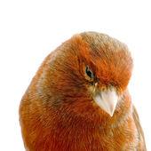Canário vermelho no poleiro — Foto Stock