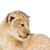 Lion Cub lying down — Stock Photo