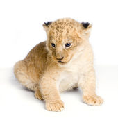 Lion Cub sitting — Foto Stock