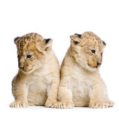 Two Lion Cubs — Stock Photo