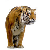 Tiger standing up — Stock Photo