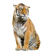 Tiger sitting — Stock Photo