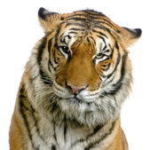 Tiger's face — Stock Photo