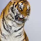 Tiger's Snarling — Stock Photo