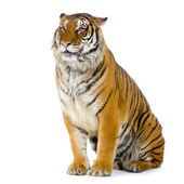 Tiger sitting — Foto Stock