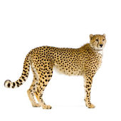 Cheetah standing up — Stock Photo