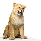 Lion Cub sitting — Stock Photo