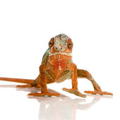 Chameleon Furcifer Pardalis — Stock Photo