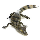 Young Spectacled Caiman - Caiman crocodilus — Stock Photo