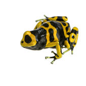 Poison Dart Frog - Dendrobates leucomelas — Stock Photo