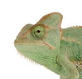 Yemen Chameleon - chamaeleo calyptratus — Stock Photo
