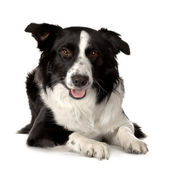 Border Collie Breed — Stock Photo