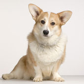 Cardigan Welsh Corgi — Stock Photo