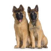对夫妇的两个小狗比利时 tervuren — 图库照片