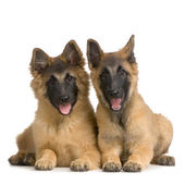 Couple of Puppy Belgian Tervuren — Stock Photo