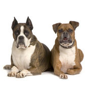 Couple of Boxer — Stock Photo