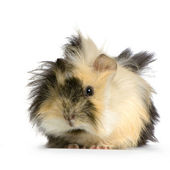 Angora guinea pig — Stock Photo