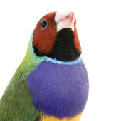 Gouldian Finch - Erythrura gouldiae — Stock Photo