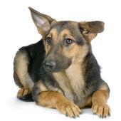 German shepherd, alsatian, police dog — Stock Photo
