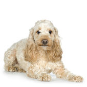 Poodle — Stock Photo