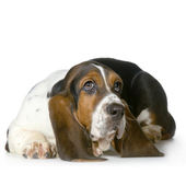 Basset Hound - Hush Puppies — Stock Photo