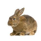 Common Rabbit — Stock Photo