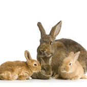 Mother Rabbit — Stock Photo