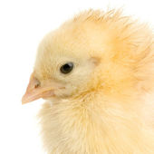 Chick — Stock Photo
