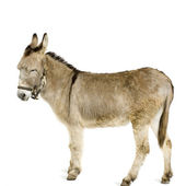 Donkey — Stock Photo