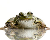 Edible Frog - Rana esculenta — Stock Photo