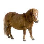 Shetland pony (13 years) — Stock Photo