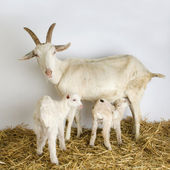 Goat and her kids — Stock Photo