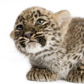 Persian leopard Cub (2 months) — Stock Photo