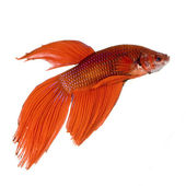 Siamese fighting fish — Stock Photo