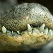 Crocodile jaw — Stock Photo